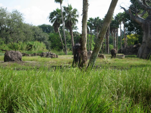 The animals have plenty of room to roam in Disney's Animal Kingdom.