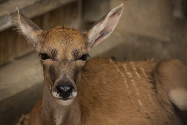 Meet Disney's newest baby - Doppler- an eland! Photo credits (C) Disney Enterprises, Inc. All Rights Reserved