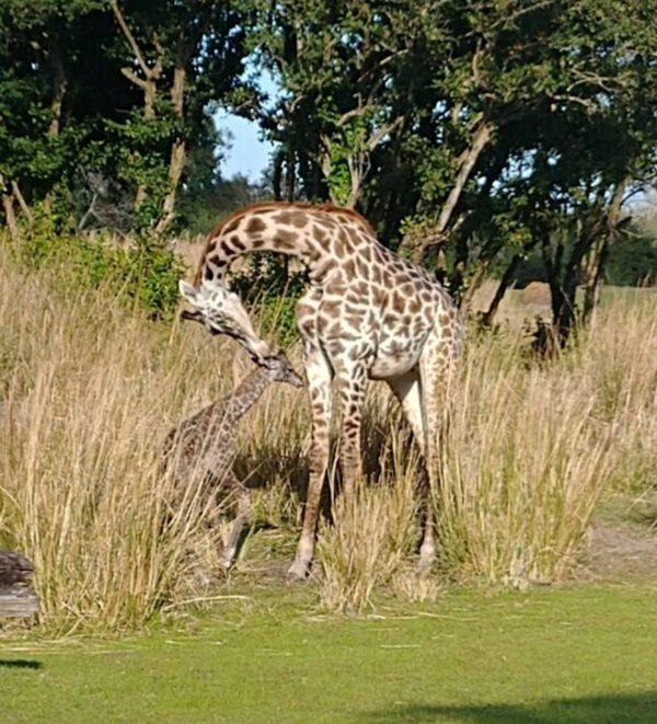 Disney welcomed a new baby Masai Giraffe on January 14th around 2pm!