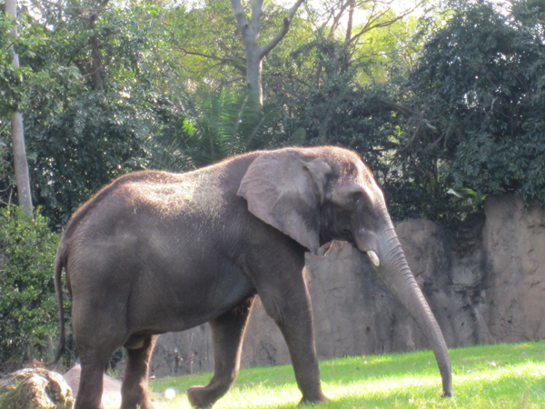 A new elephant arrives at Disney's Animal Kingdom.