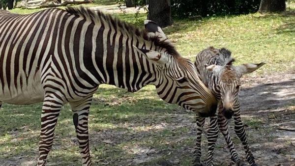 A new baby zebra was born at Disney's Animal Kingdom.