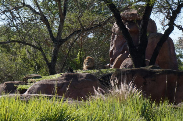 Disney World is donating $2 for every person who rides Kilimanjaro Safaris through Thursday with the overall goal of donating $3 million dollars to help lions.
