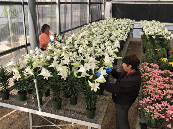 Disney is donating Easter lilies to local seniors.  Photo credits (C) Disney Enterprises, Inc. All Rights Reserved