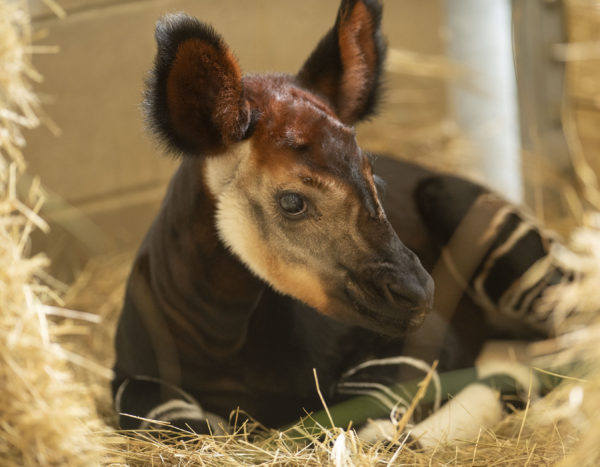 Disney welcomed an okapi born Oct. 1, 2018. He weighed 54 pounds. Photo credits (C) Disney Enterprises, Inc. All Rights Reserved