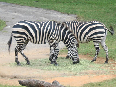 Enjoy up close views of wildlife on the Wild Africa Trek.