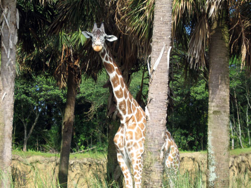 Kilimanjaro Safari is a new ride every time.