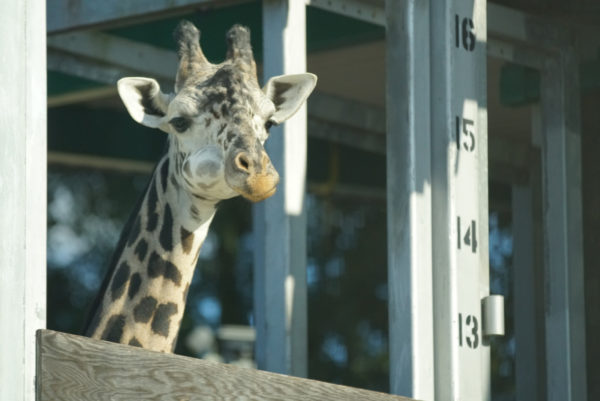 Kenya the giraffe requires a lot of patience. Photo credits (C) Disney Enterprises, Inc. All Rights Reserved