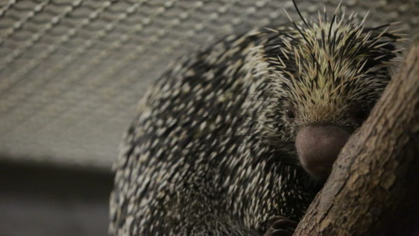 Peri the porcupine needs a little help from a Disney vet. Photo credits (C) Disney Enterprises, Inc. All Rights Reserved