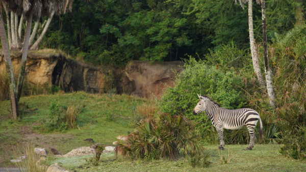 Zebras make themselves at home on the safari savanna. Photo credits (C) Disney Enterprises, Inc. All Rights Reserved