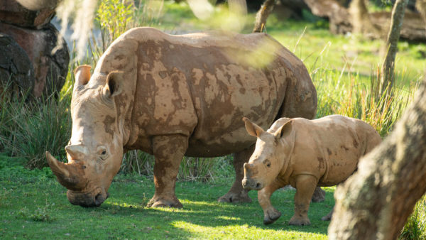 A baby rhino has made its way to the savannah.