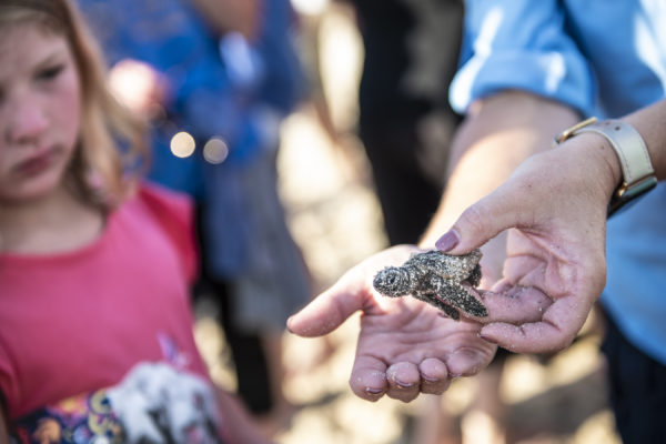 After taking inventory of recently hatched turtle nests along the beach, a Disney Cast Member shows a young guest a hatchling during the annual Tour de Turtles event at Disney's Vero Beach Resort. Photo credits (C) Disney Enterprises, Inc. All Rights Reserved