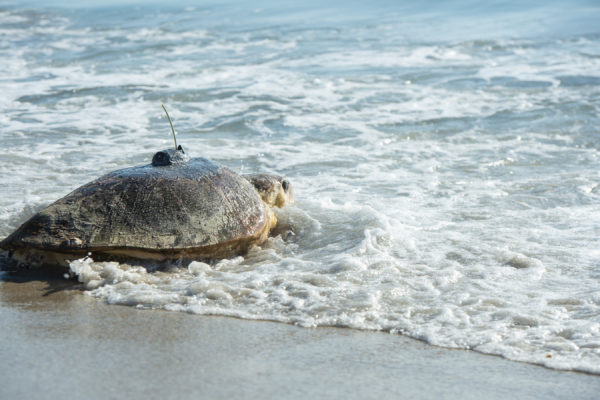 "Loggerhead sea turtle Ursula, named after the sea witch from Disney's ""The Little Mermaid,"" starts her migration journey off the coast of Disney's Vero Beach Resort. Photo credits (C) Disney Enterprises, Inc. All Rights Reserved"