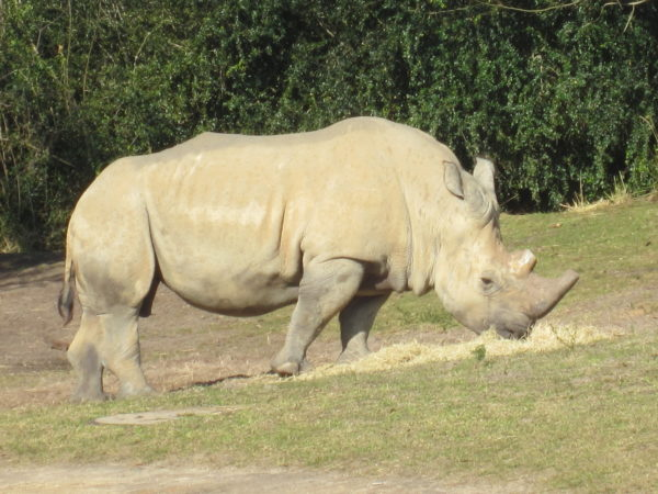 Disney's Animal Kingdom will welcome guests for the Up Close with Rhinos tour starting November 1, 2018!