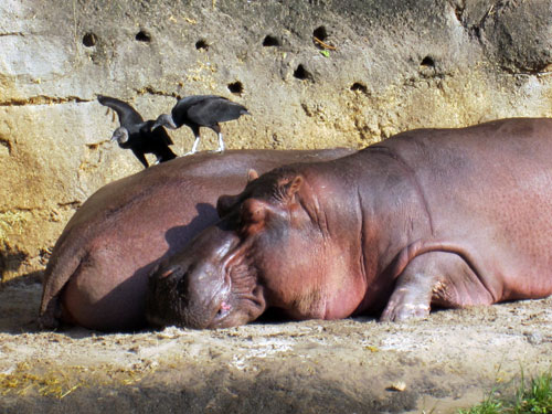 Real hippos at Disney's Animal Kingdom.