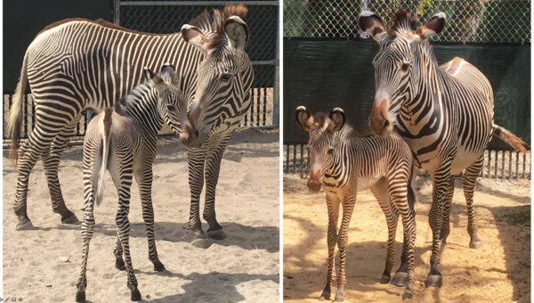 Baby zebras born at Disney's Animal Kingdom. Photo credits (C) Disney Enterprises, Inc. All Rights Reserved.